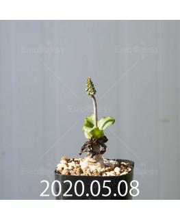 レデボウリア コンカラー DMC10146 子株 20863