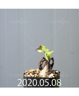 レデボウリア コンカラー DMC10146 子株 20864