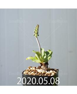 レデボウリア コンカラー DMC10146 子株 20867