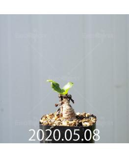 レデボウリア コンカラー DMC10146 子株 20881