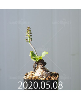 レデボウリア コンカラー DMC10146 子株 20886
