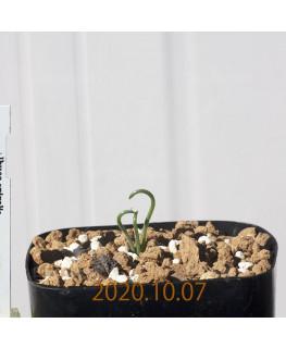 Albuca spiralis アルブカ スピラリス EQ108  21347