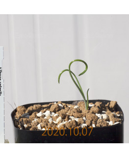 Albuca spiralis アルブカ スピラリス EQ108  21348
