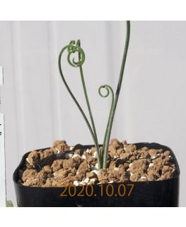 Albuca spiralis アルブカ スピラリス EQ108  21351
