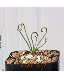 Albuca spiralis アルブカ スピラリス EQ108  21354