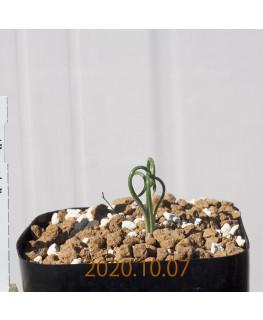 Albuca spiralis アルブカ スピラリス EQ108  21366