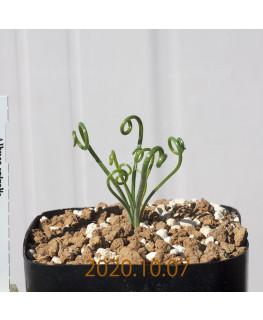 Albuca spiralis アルブカ スピラリス EQ108  21368