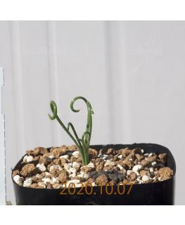 Albuca spiralis アルブカ スピラリス EQ108  21378