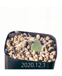 Lachenalia trichophylla ラケナリア トリコフィラ EQ842  22192