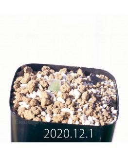 Lachenalia trichophylla ラケナリア トリコフィラ EQ842  22193