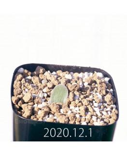 Lachenalia trichophylla ラケナリア トリコフィラ EQ842  22194