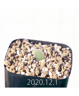 Lachenalia trichophylla ラケナリア トリコフィラ EQ842  22201