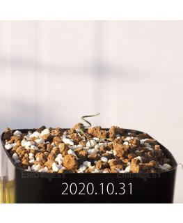 Gethyllis verticillata ゲチリス ベルティシラータ EQ553  22450