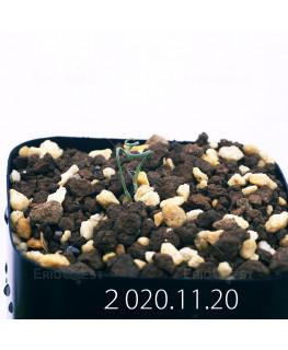 Androcymbium volutare アンドロキンビウム ヴォルタレ GS2153  22906