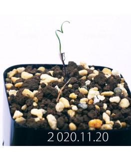 Androcymbium volutare アンドロキンビウム ヴォルタレ GS2153  22920