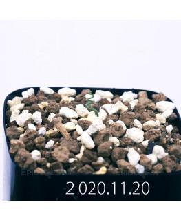 Androcymbium volutare アンドロキンビウム ヴォルタレ GS2153  22924