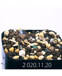 Eriospermum paradoxum エリオスペルマム パラドクスム EQ281  22934