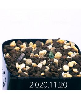 Eriospermum paradoxum エリオスペルマム パラドクスム EQ281  22935