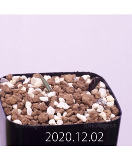 Lachenalia karoopoortensis ラケナリア カループールテンシス EQ636  23011