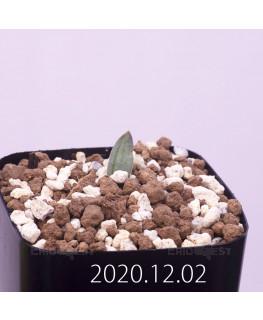 Lachenalia karoopoortensis ラケナリア カループールテンシス EQ636  23012