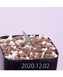 Lachenalia karoopoortensis ラケナリア カループールテンシス EQ636  23015