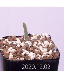 Lachenalia karoopoortensis ラケナリア カループールテンシス EQ636  23016