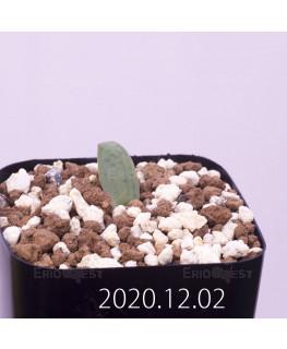 Lachenalia karoopoortensis ラケナリア カループールテンシス EQ636  23018