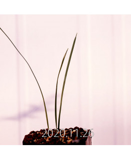 Moraea gigandra モラエア ギガンドラ EQ931  23100