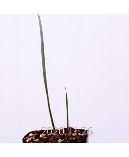 Moraea gigandra モラエア ギガンドラ EQ931  23103
