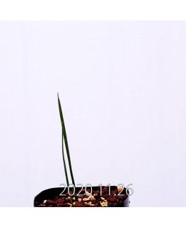 Moraea gigandra モラエア ギガンドラ EQ931  23110