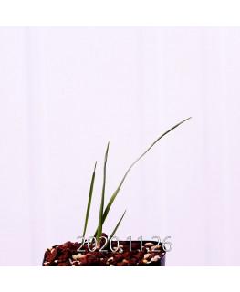Moraea gigandra モラエア ギガンドラ EQ931  23115