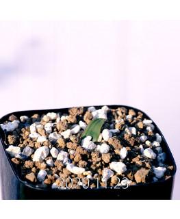 Massonia bredasdorpensis マッソニア ブレダスドルペンシス EQ932  23120