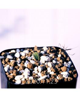 Massonia bredasdorpensis マッソニア ブレダスドルペンシス EQ932  23121