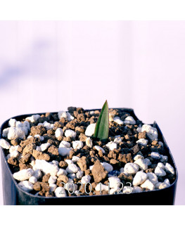 Massonia bredasdorpensis マッソニア ブレダスドルペンシス EQ932  23125