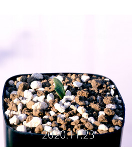 Massonia bredasdorpensis マッソニア ブレダスドルペンシス EQ932  23126