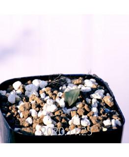 Massonia bredasdorpensis マッソニア ブレダスドルペンシス EQ932  23130