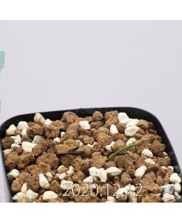 Daubenya aurea ダウベニア アウレア コクシネア変種  24235