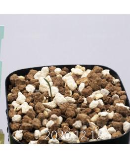 Daubenya aurea ダウベニア アウレア コクシネア変種  24237