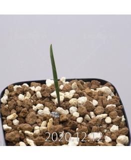 Daubenya aurea ダウベニア アウレア コクシネア変種  24239