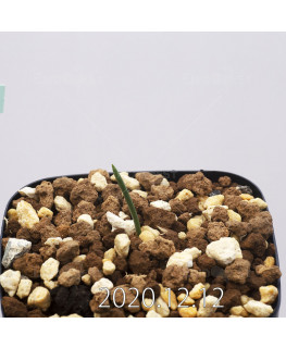 Daubenya aurea ダウベニア アウレア コクシネア変種  24245