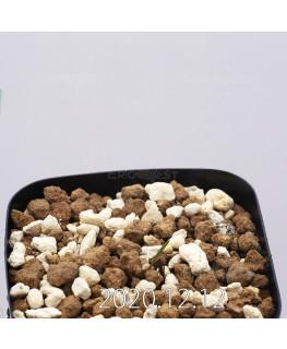 Daubenya aurea ダウベニア アウレア コクシネア変種  24252