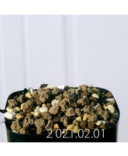 Moraea pritzeliana モラエア プリツェリアーナ EQ879  24577