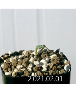 Moraea pritzeliana モラエア プリツェリアーナ EQ879  24589