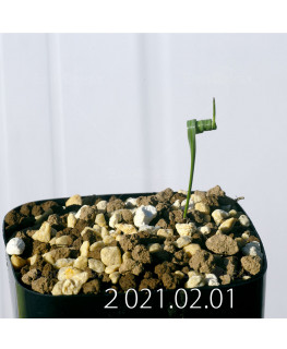 Moraea pritzeliana モラエア プリツェリアーナ EQ879  24595