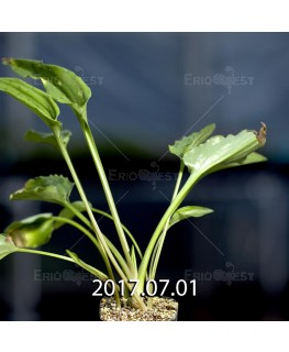 Drimiopsis maculata ドリミオプシス マキュラータ LAV30689  2740