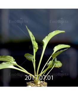 Drimiopsis maculata ドリミオプシス マキュラータ LAV30689  2744