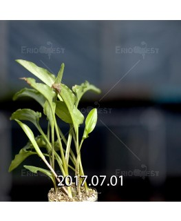 ドリミオプシス マキュラータ  LAV30689 子株 2747