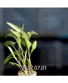 Drimiopsis maculata ドリミオプシス マキュラータ LAV30689  2747