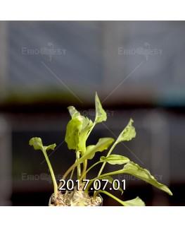 ドリミオプシス マキュラータ  LAV30689 子株 2756