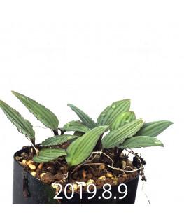 ドリミオプシス sp. nov. 子株 2837